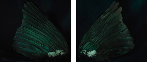 Fiona Pardington  Akura's Tui, Ripiro Beach , 2012 (Diptych) Inkjet print on Epson hot press 310gsm cotton rag Each panel is 825 x 945 mm  Edition of 10   _______