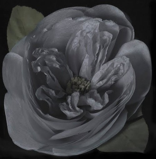 Fiona Pardington  Aunt Nellie's Rose , 2011 Inkjet print on Epson hot press 310gsm cotton rag Dimensions variable Edition of 10   _______