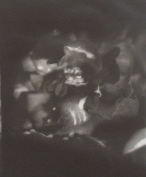 Fiona Pardington  Rose Red Meets Prince Charming , 1994 Silver gelatin print 560 x 430 mm Edition of 5   _______
