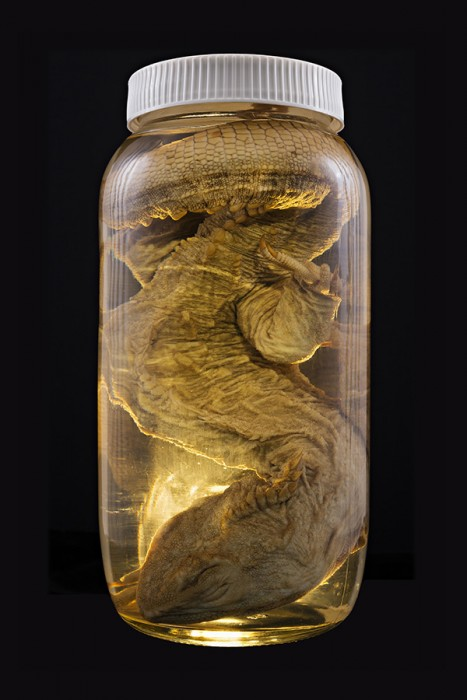 Neil Pardington  Sphenodon punctatus  (Tuatara), Auckland Museum Tamaki Paenga Hira #1, 2013 Pigment print on Hahnemühle photo rag baryta Portfolio edition of 3 (set of 12 prints), Individually edition of 10   _______
