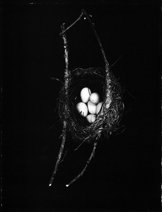Fiona Pardington  Tauhou/Silvereye's nest with 6 eggs, Zosterops lateralis, Dunedin Botanic Garden, 2004, Otago Museum , 2007 Toned silver bromide fibre based print 600 x 500 mm  _______