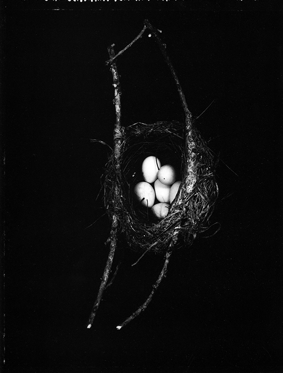 Fiona Pardington  Tauhou.Silvereye's nest with 6 eggs. Zosterops lateralis, Dunedin Botanic Garden, 2004, Otago Museum , 2006 Silver gelatin print 580 x 430 mm Edition of 5  _______