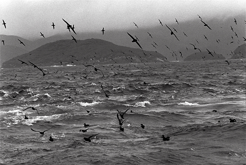 Bruce Connew  Muttonbirds - part of a story #4 , 2002 Selenium-toned, silver gelatin, fibre print Dimensions variable Edition open  _______