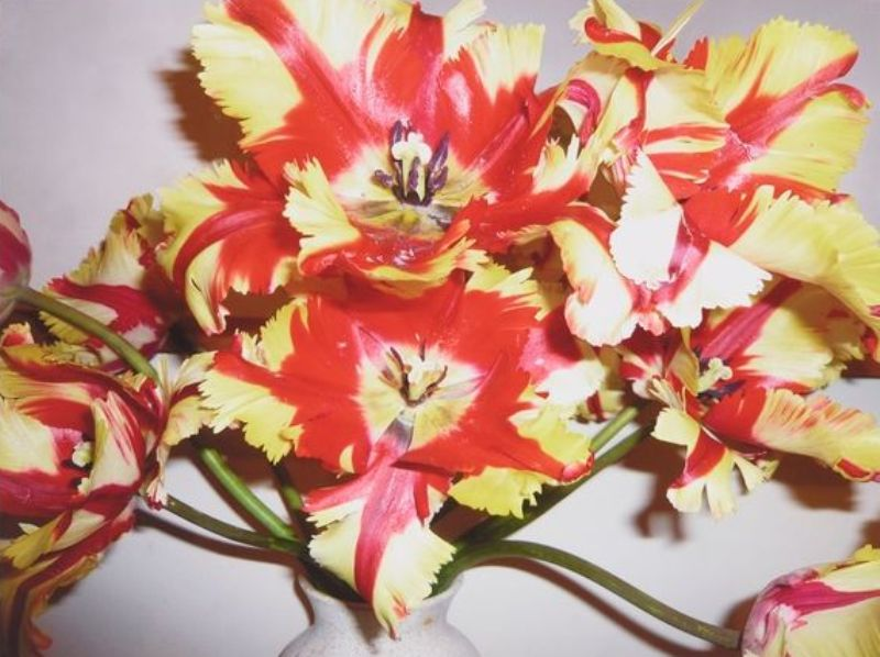 Peter Peryer  Tulips, Invercargill,  2007 Pigment inks on paper 500 x 665 mm  ______
