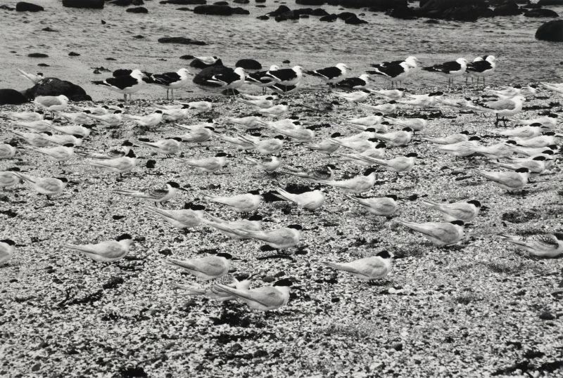 Peter Peryer  Birds Chatham Islands,  2001 Vintage silver gelatin print 340 x 505 mm  ______
