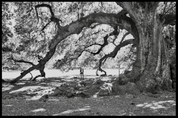 Etienne de Boré     oak, Audubon Park, New Orleans