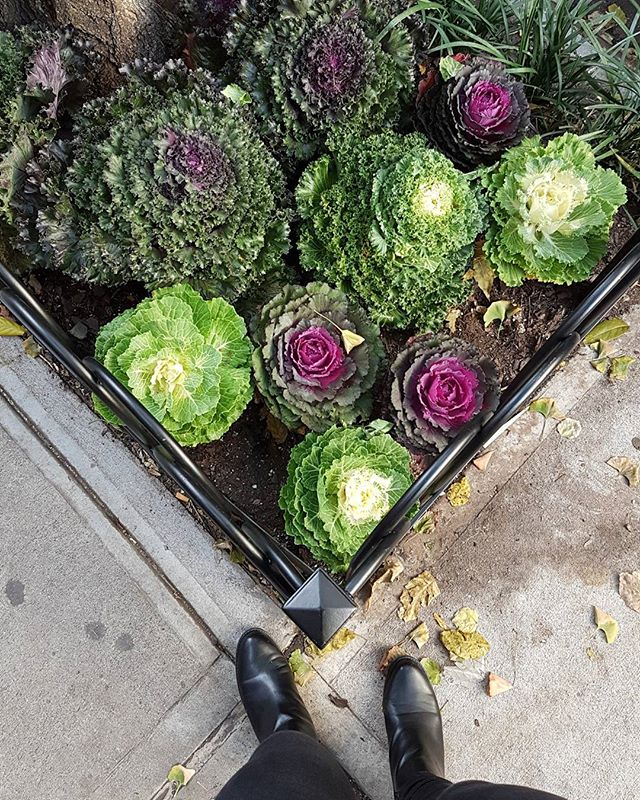 Back in NYC. Bringing more greenspo as I go along. SPOTTED: Decorative Cabbage and Kale. What were once underappreciated vegetables have found their niche as stars of the ornamental fall and winter garden. Such pretty oversized rosettes, colours & textures on the walkway near Greenwich Village. #kale #cabbage #garden #kalegarden #plantlover #sidewalk #newyork #fallplants #fall #decorativekale