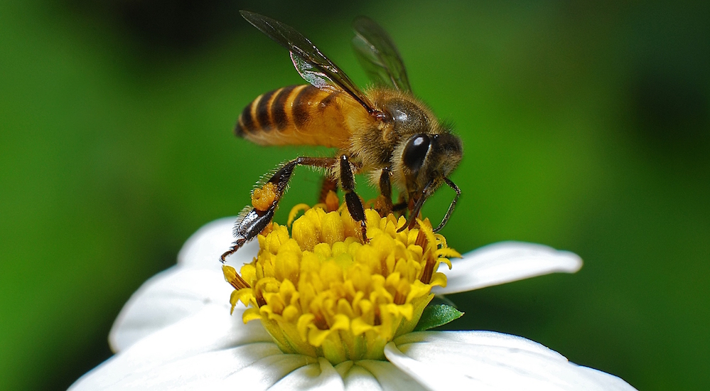 bigstock-Honey-Bee-And-Flower-In-The-Ga-2881763.jpg