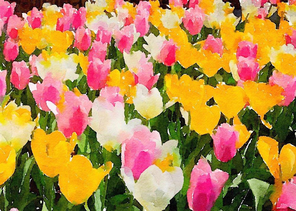 ETSY-Field of Tulips IMG_2173.jpg