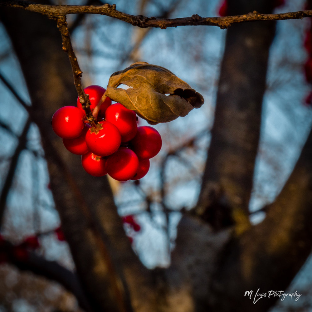 20171211 -Winter Berry - PC110167-2.jpg