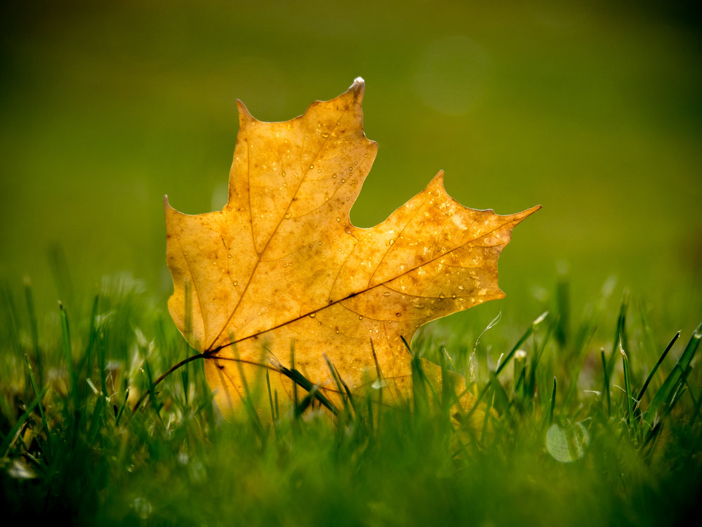 20151027-Single Fall Leaf-PA270086.jpg