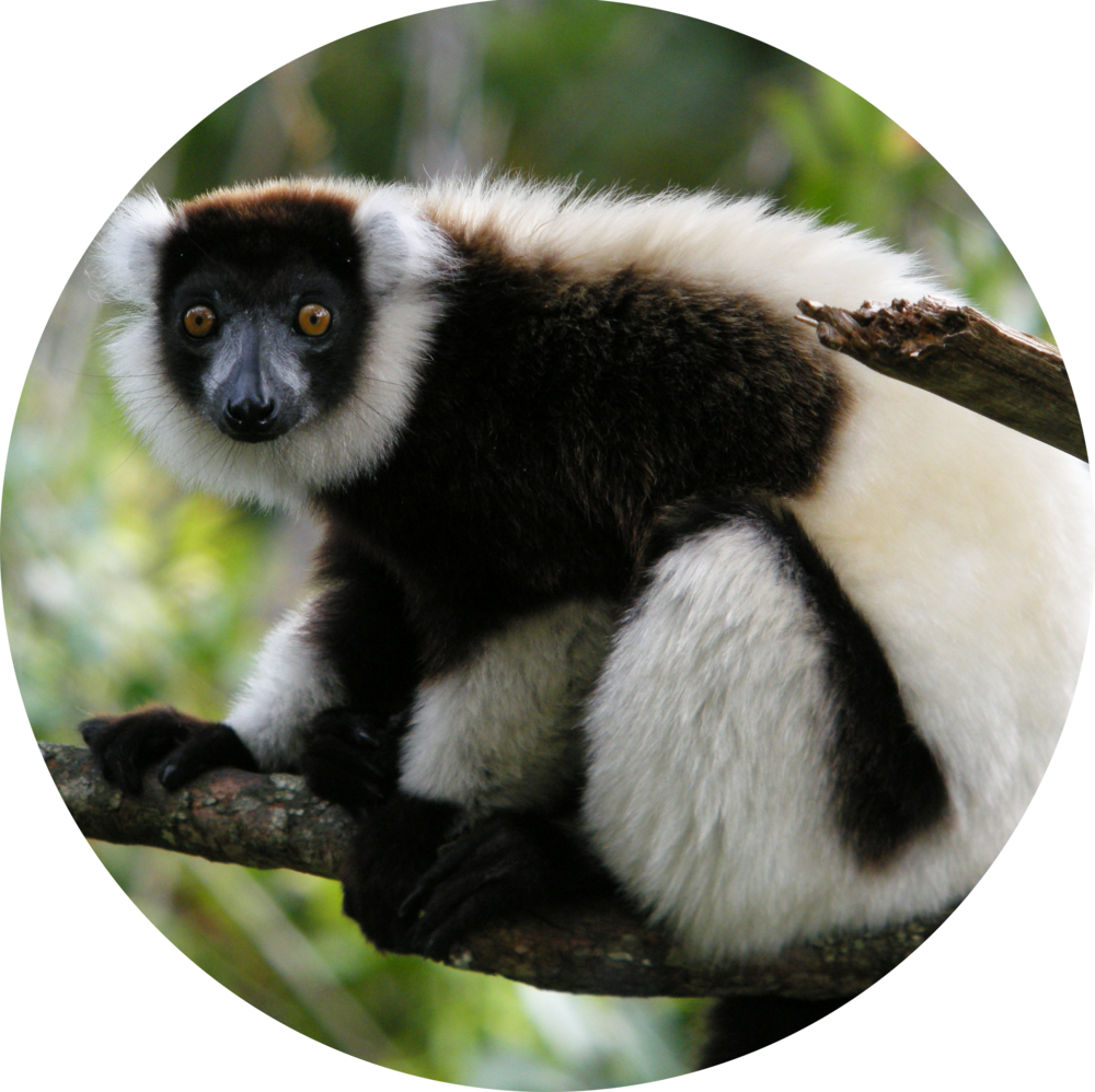Black White Ruffed Lemur