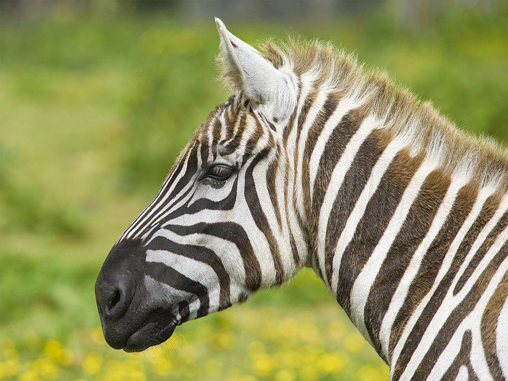 Maneless Zebra