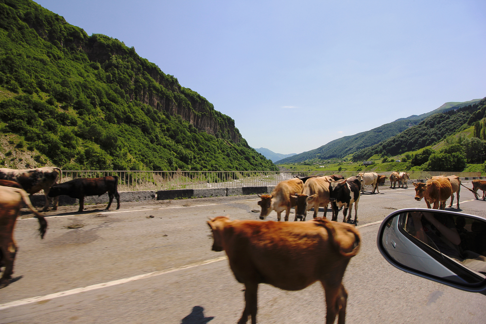 Georgian Military Highway.  Animals ahead...