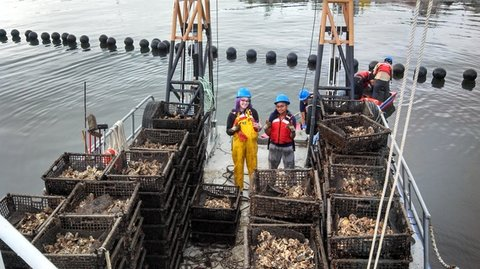 The  Billion Oyster Project  initiative along the waterfront (BOP),  is a long-term, large-scale plan to restore live oysters to New York Harbor.