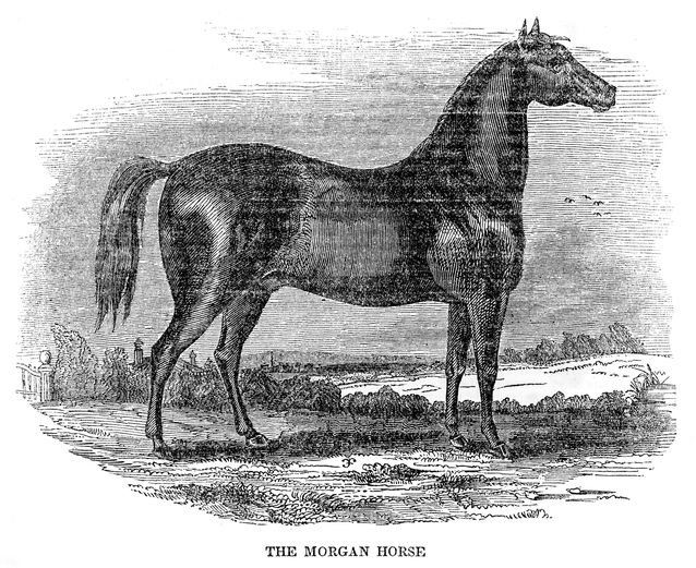 Morgan-horse.jpg.638x0_q80_crop-smart.jpg
