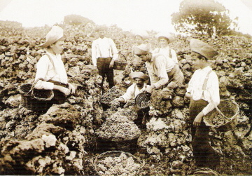 Harvesting grapes (historic photo)