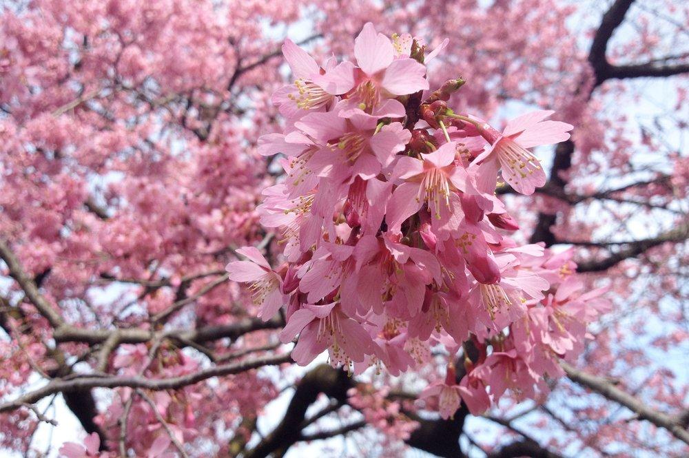 9 flowering cherry blossom - Pranus 'okame'.jpg