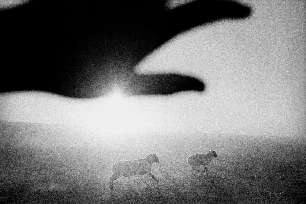 Sheep at Dawn. Firebaugh, California. 1995.  Inquire about this image