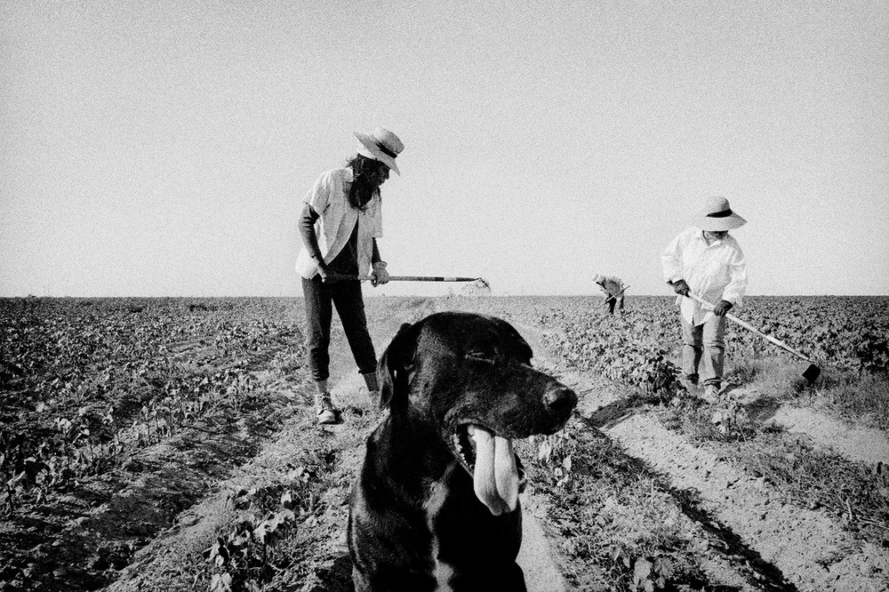 Weeding cotton. Allensworth, California. 2001.  Inquire about this image