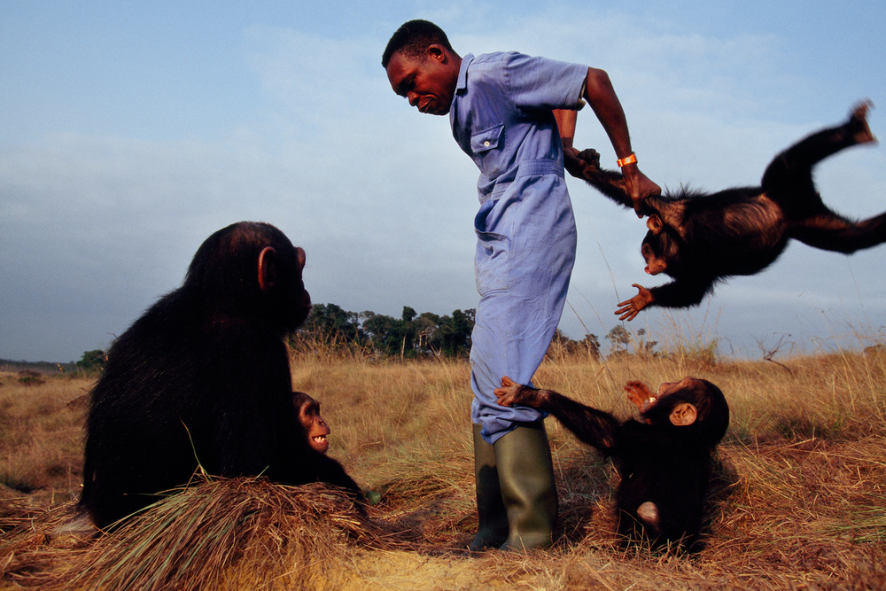 Tchimpounga Sanctuary, Congo, 1995.