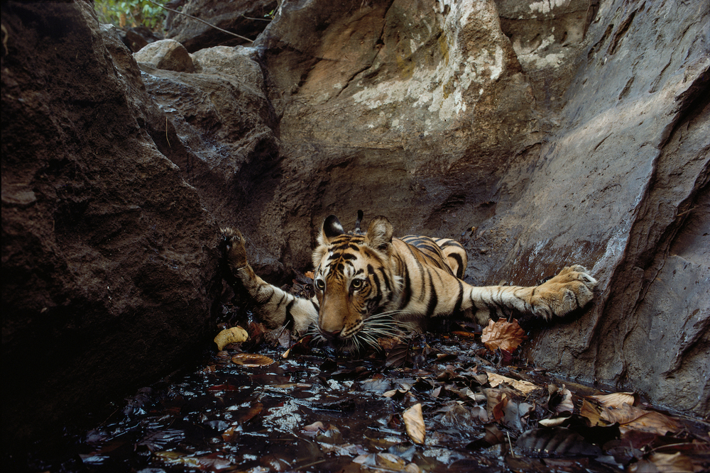 Bandhavgarh National Park, India, 1996