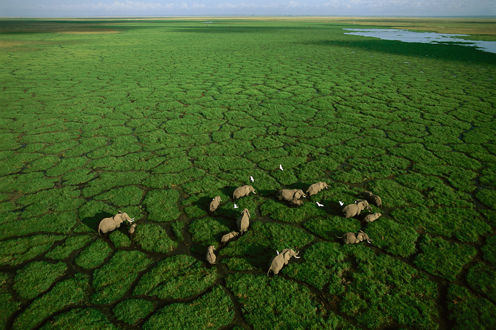 Elephants grazing in Lake Amboseli, Amboseli National Park, Kenya, 2005.