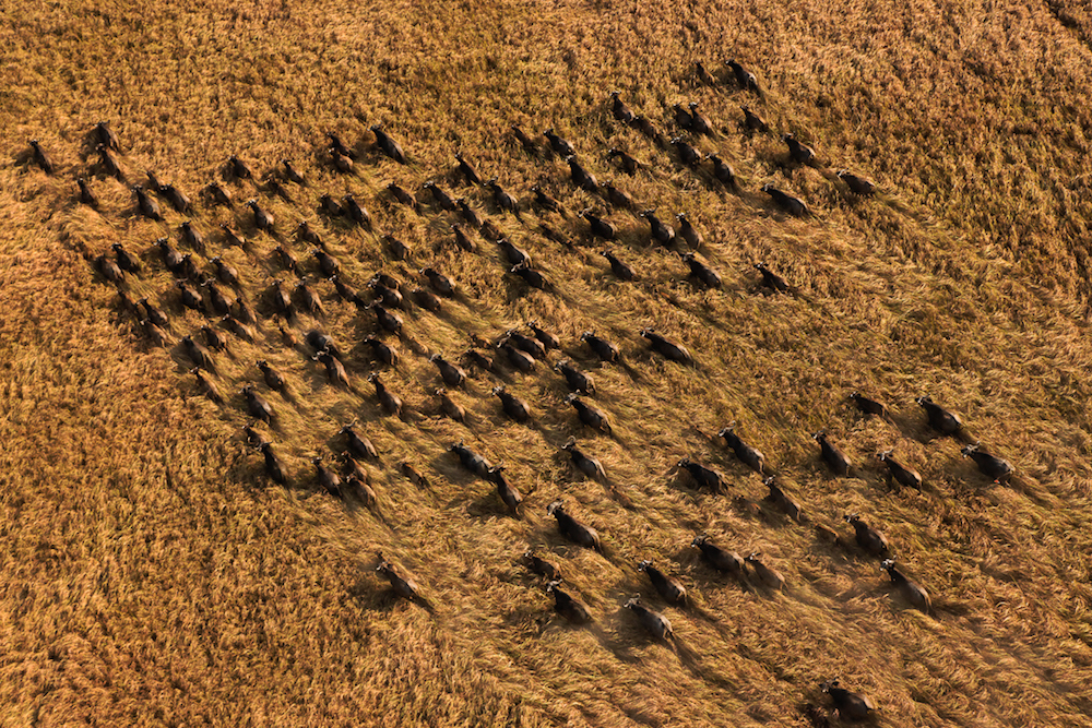 Herd of Buffalo, Sudd Swamp, Southern Sudan, 2010.
