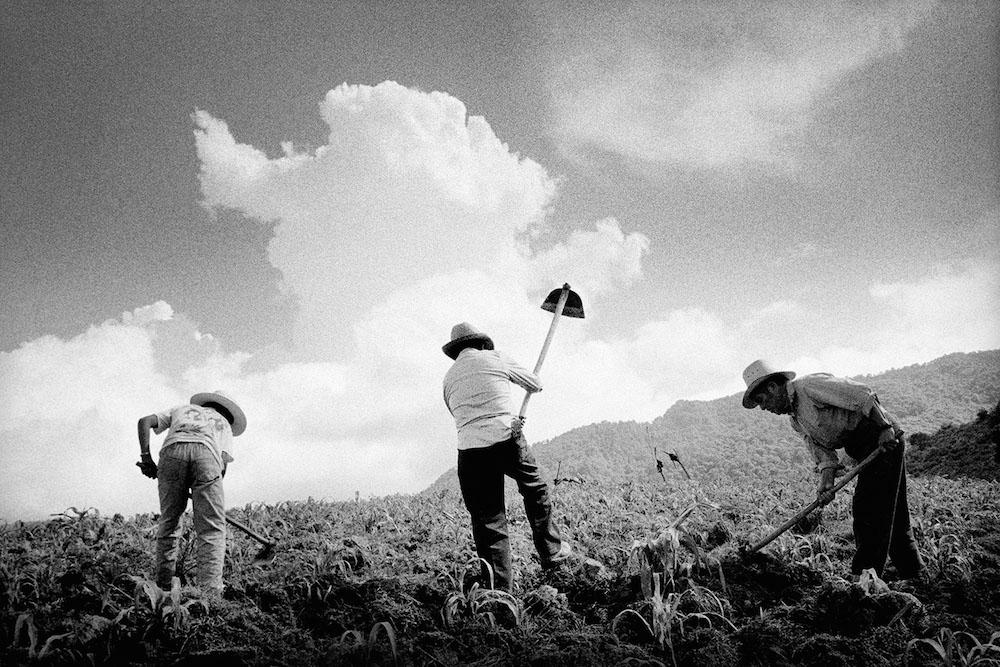 Tilling a newly sprouted corn field.  San Miguel Cuevas, Mexico. 2000.  Inquire about this image
