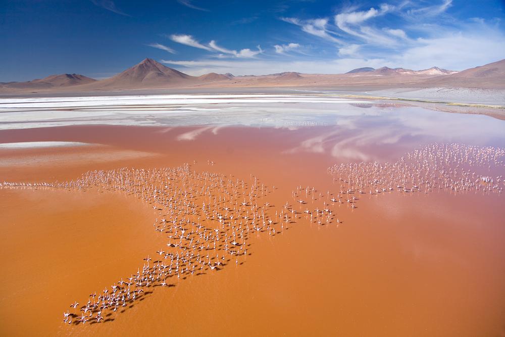 James Flamingos, Laguna Colorada, Bolivia.  Inquire about this image