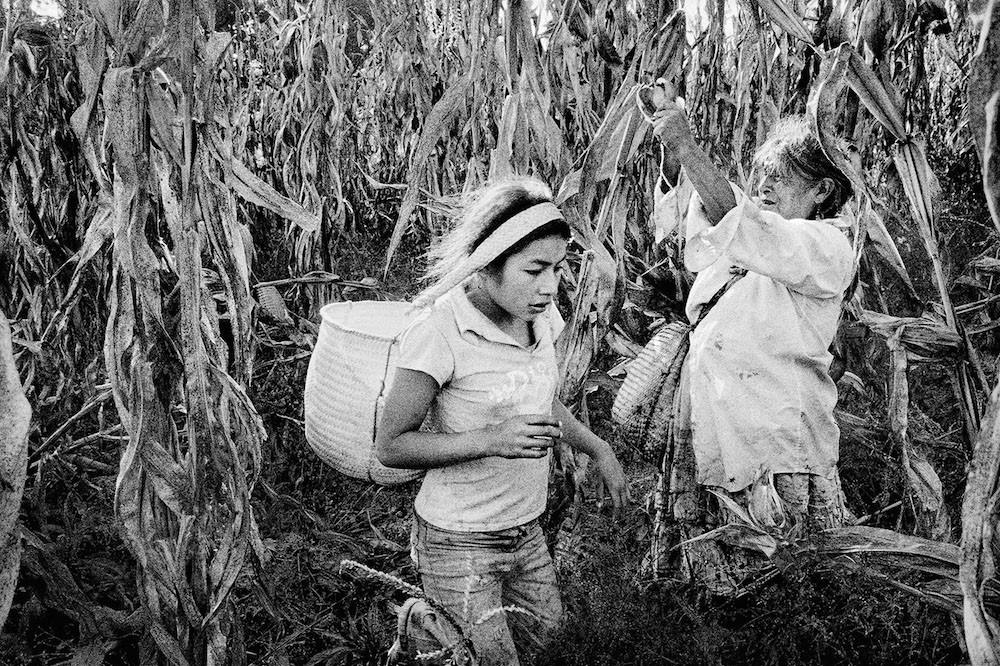 A girl harvests corn with her grandmother. San Miguel Cuevas, Mexico. 2006.   Inquire about this image