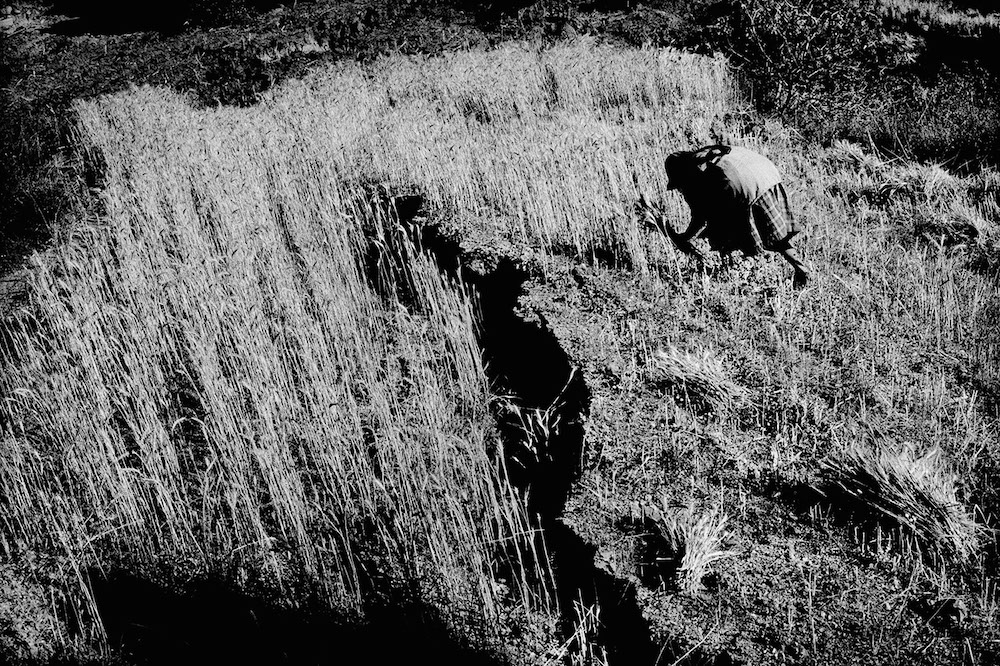 Cutting wheat from a cracked field. Santiago Mitlatongo, Mexico. 2011.   Inquire about this image