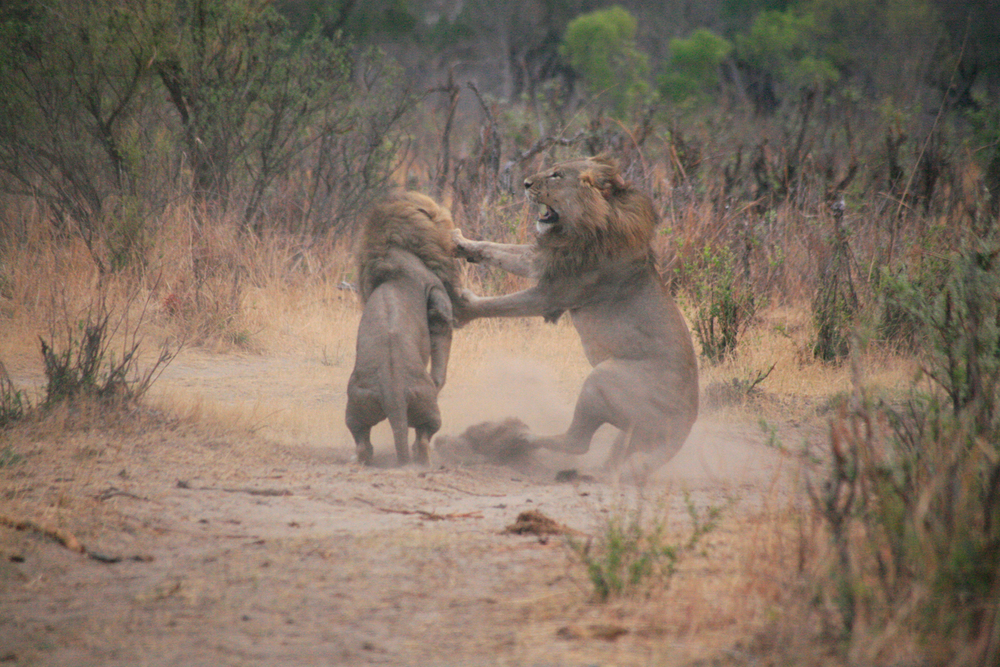 Brotherly love  : Brothers Bush and Bhubezi had just stolen a lioness from Cecil. Here, they still had yet to work out to whom she belonged. October 20, 2012.    Inquire about this image