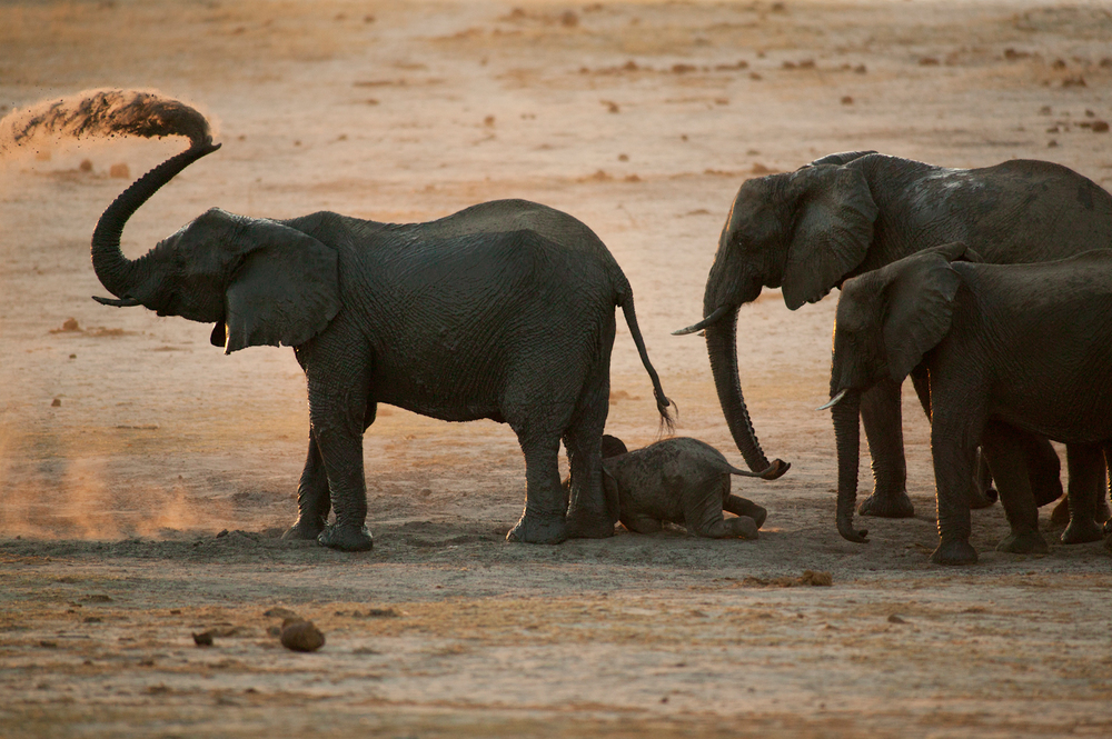 Dust locomotive  : Hwange National Park is known for its elephants; in the peak of the dry season they amass in the hundreds at the pumped waterholes. After quenching their thirst, there is always time for a quick dust bath. October 24, 2015.     Inquire about this image