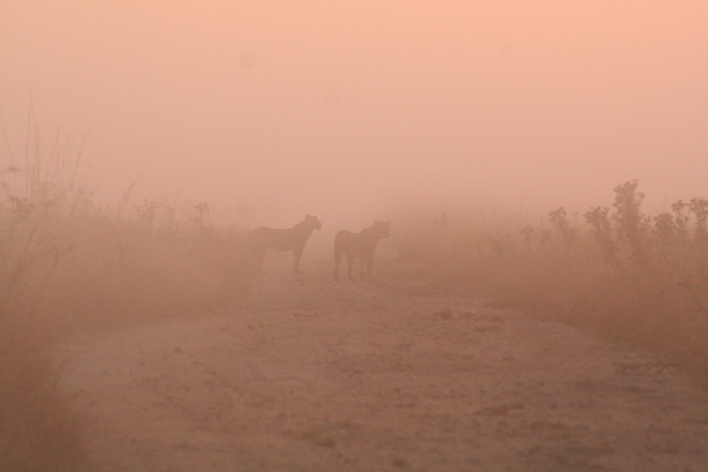 Lions in the mist:   Two young males stand in the mist looking over a herd of buffalo. April 19, 2011.  Inquire about this image