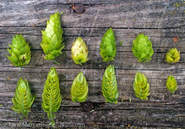 hop farming-3101