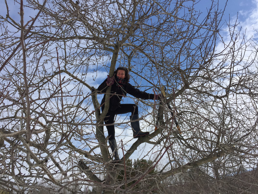 Kate climbing apple trees and pruning.