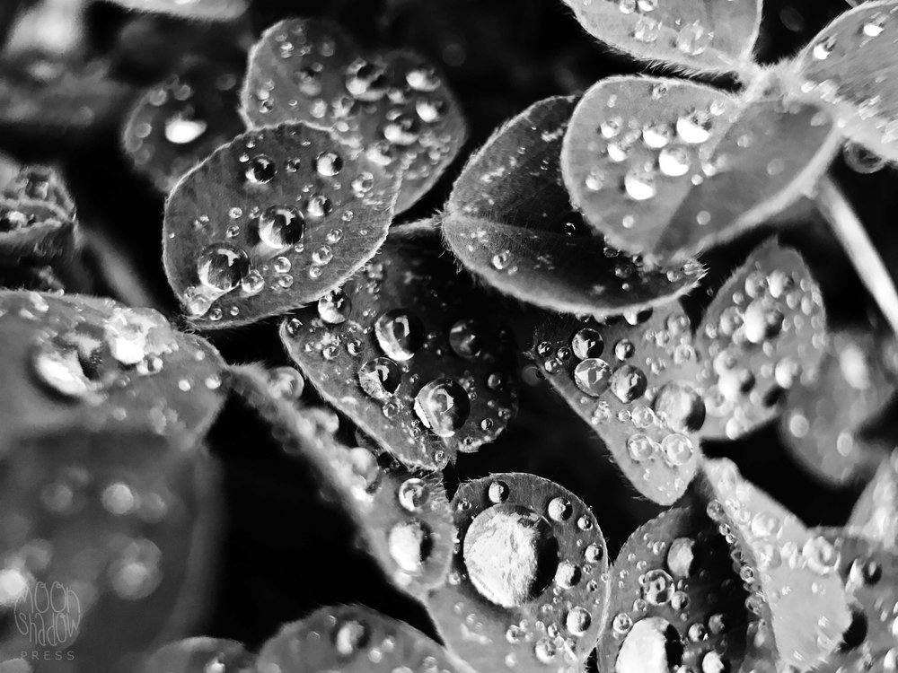 Rain_BWclover_1.jpg