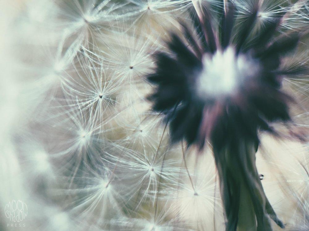 Dandelion6.jpg