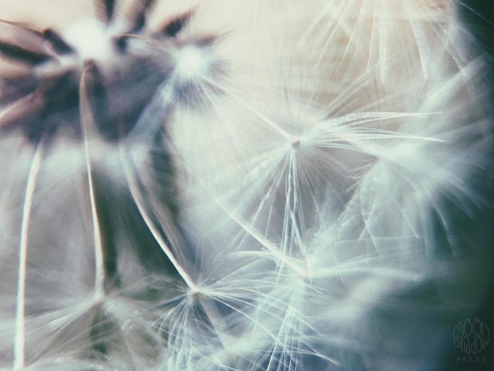 Dandelion15.jpg