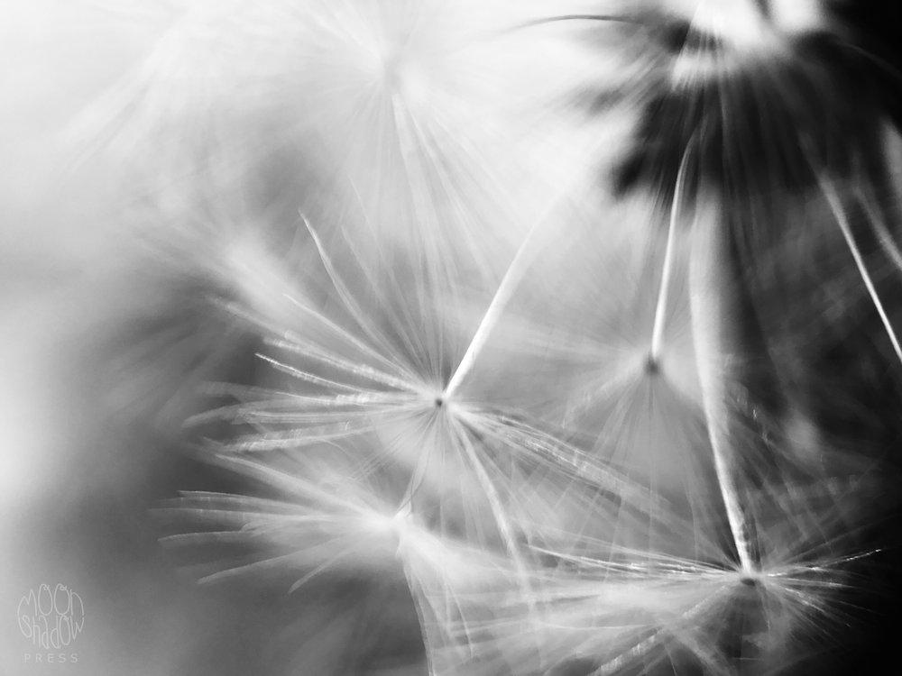 Dandelion17.jpg