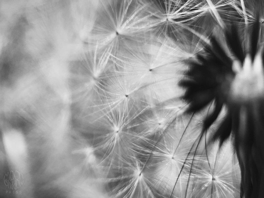 Dandelion8.jpg