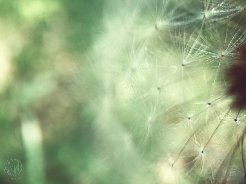 Dandelion10.jpg