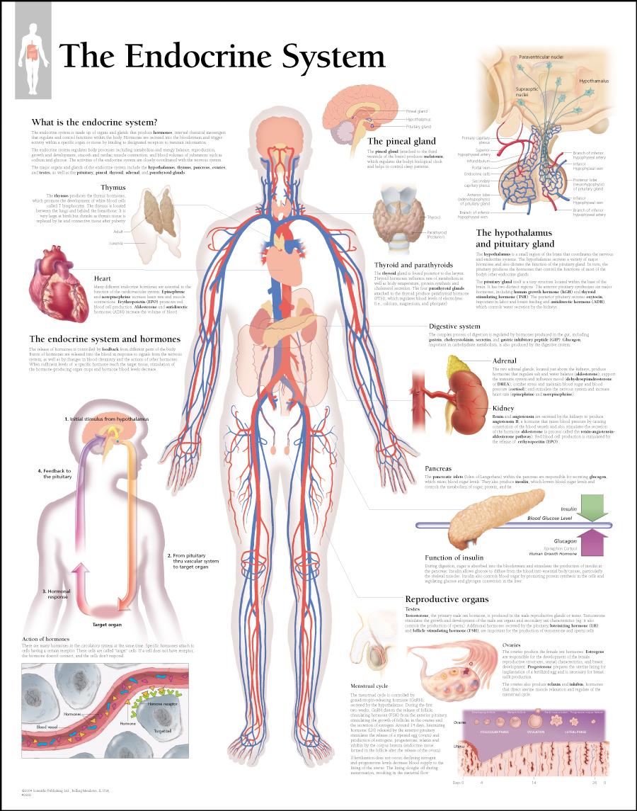 Hormone Thyroid Balance Perfect Balance Natural Health