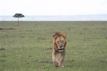 lion-opt.jpg