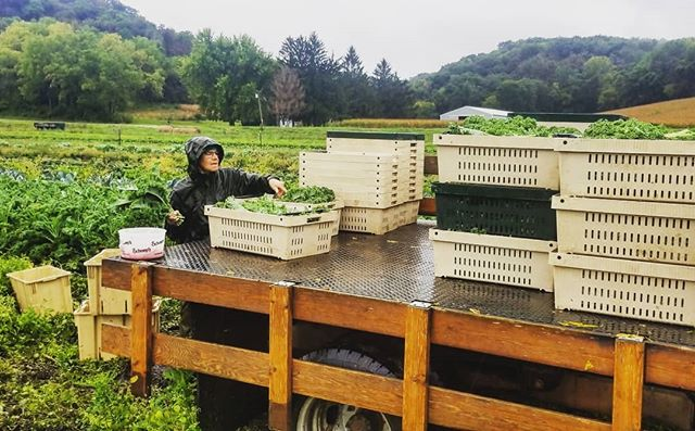 Rain, mud, mosquitoes. A lot of farmerly love went into this kale harvest. We hope you love it too✌❤🌱 #knowyourfarmer #familyfarm #supportlocal #csa