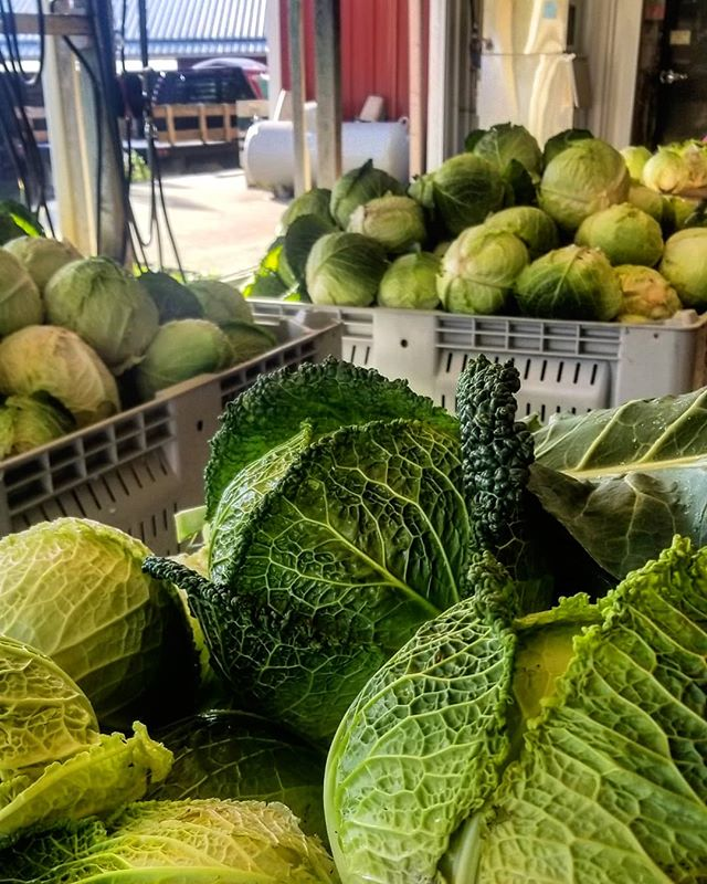What a perfect start to the week. The Savoy cabbage harvest was beautiful. Fall is here! 🍁🍂#knowyourfarmer #CSA #familyfarm #supportlocal