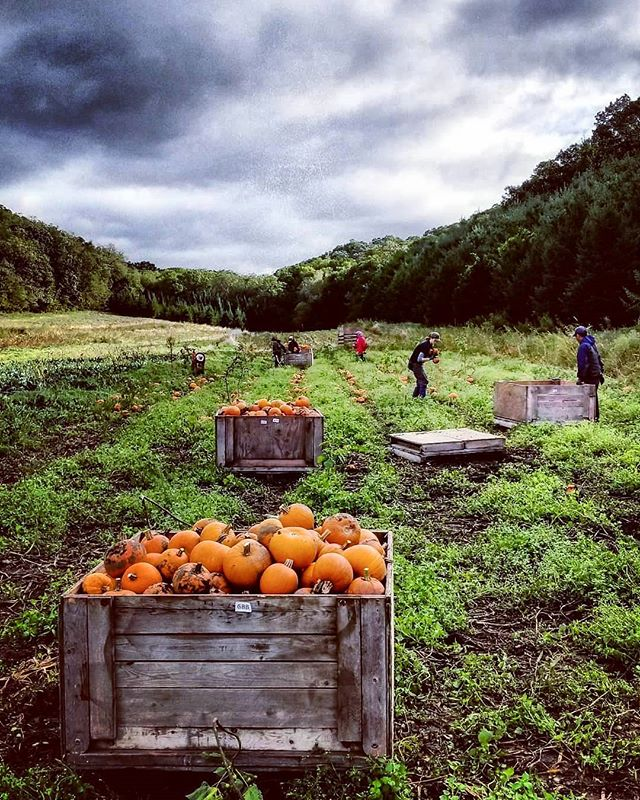 Moody pie pumpkin harvest. We've been soaking in these early fall days on the farm with so much gratitude 🍁🍂🎃💓 #eatlocal #csa #storageshare #organic #seasonalfood #familyfarm