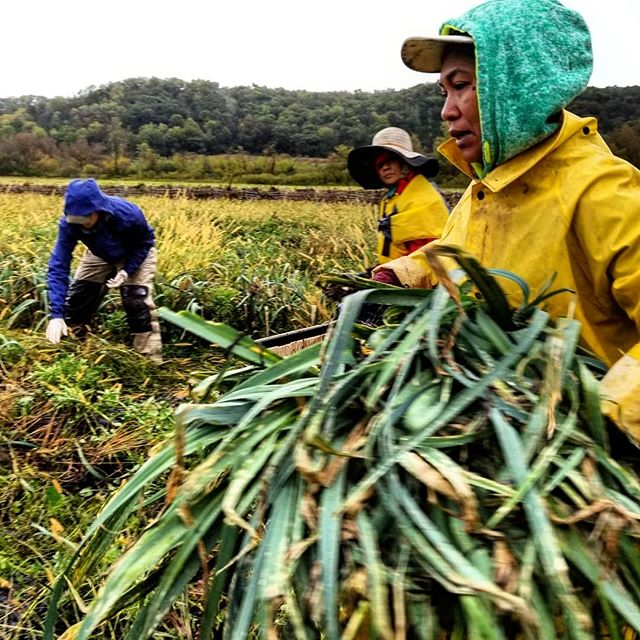 We dodged thunderstorms all day to get the leeks harvested. Pouring rain, loud claps of thunder and spooky cool lightening. This job is not boring. 🌩⛈🤘 #farmlife #thunderleeks #neveradullmoment #CSA #storageshare