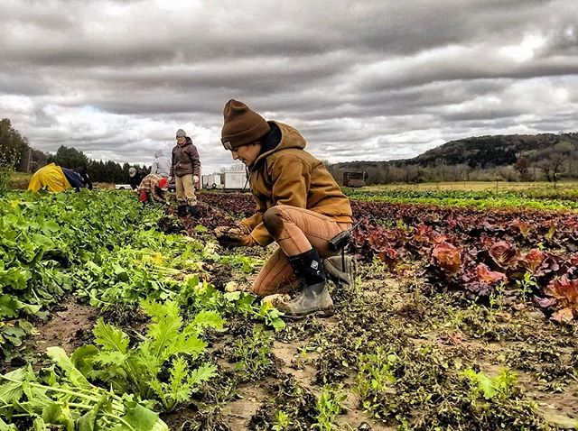 A chilly morning in the radish and beet harvest. The howling north wind was a constant reminder that winter will be rolling in soon and the farm will go quiet. November and December Storage Shares are still available! Link in bio 🚜 #csa #familyfarm #supportlocal #knowyourfarmer #farmlife 📷 @carehighman